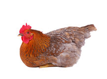 Hen isolated on white. Brown hen isolated on white, studio shot Royalty Free Stock Photos