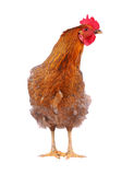 Hen isolated on white. Royalty Free Stock Images