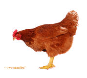 Hen isolated on white. royalty free stock photos