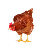 Hen isolated on white. Brown hen isolated on white, studio shot Royalty Free Stock Photo