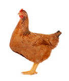 Hen isolated on white. Brown hen isolated on white, studio shot Stock Photography