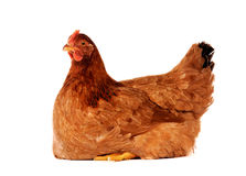 Hen isolated on white. Brown hen isolated on white, studio shot Stock Image