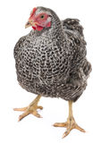 A hen isolated stock photography