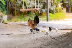 Hen with its baby chick in back garden royalty free stock photos