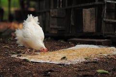 Hen and its brunch. Hen eats brunch every morning Stock Photos