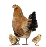 Hen with its chicks royalty free stock photos
