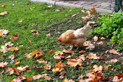 Hen on the lawn in the city. Autumn royalty free stock photography