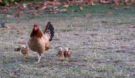 Hen with her chicks following behind royalty free stock photos