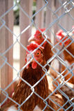 Hen looking from behind a wire fence. Photo is taken outdoors on sunny day at farm. More hens at the background, selective focus Royalty Free Stock Photo