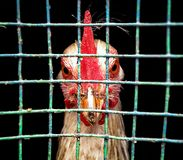 Brave look of a hen royalty free stock photography