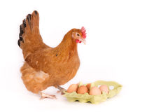 Hen looking at eggs in package Royalty Free Stock Photos