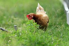 Hen looking for food Royalty Free Stock Photography