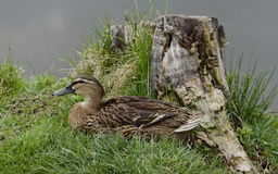 Hen mallard duck or Anas platyrhynchos with brown feathers in nest, Sofia. Bulgaria Royalty Free Stock Photo