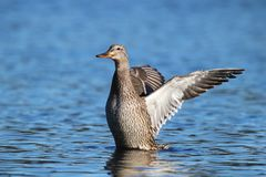 Hen Mallard Duck on a Blue Lake. A hen mallard duck flapping her wings on a blue lake Stock Photo