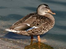 Hen Mallard Duck Waterfowl. Swimming Royalty Free Stock Images