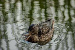 A hen mallard duckling with brown feathers swim  in lake. (Anas platyrhynchos Stock Photos