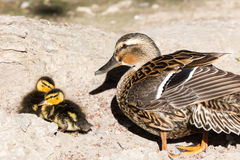 Hen Mallard and ducklings. A hen mallard keeps a close watch over her ducklings Royalty Free Stock Image