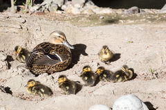 Hen Mallard and ducklings. A hen mallard keeps a close watch over her ducklings Royalty Free Stock Photos