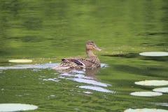 Hen Mallard em uma lagoa foto de stock royalty free