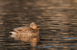 Hen Mallard on Lake Stock Photo