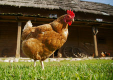 Hen on meadow Stock Image