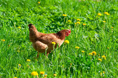 Hen in the meadow Stock Images