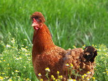 Hen on a meadow Royalty Free Stock Image