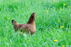 Hen in the meadow Stock Photography