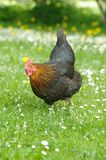 Hen in meadow Stock Photos