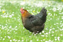 Hen in meadow. Hen outside in the meadow in spring time Royalty Free Stock Image