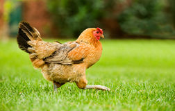 Hen on the move. Image of a hen walking on a green field Royalty Free Stock Photo