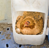 Hen in nest Stock Images