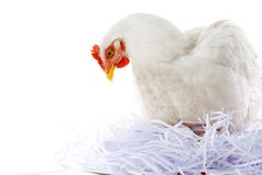 Hen in nest. Photo of hen sitting in artificial nest over white background Stock Photos