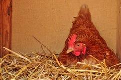Hen nest farming. Hen sitting in nest on eggs on a farm royalty free stock image