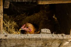 Hen in the nest hatches eggs stock photo
