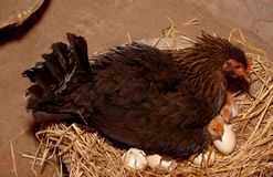 A hen with new born baby chicken. stock image