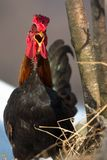 Hen with open beak.  Royalty Free Stock Images