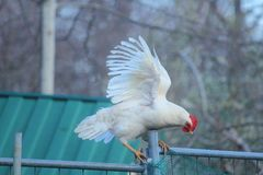 Hen with open wings. An hen with open wings Royalty Free Stock Photography