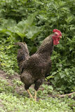 Hen. Outside in the meadow Stock Image