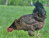 Hen pecking Royalty Free Stock Photos