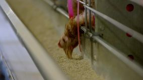 Hen pecks feed. stock video
