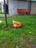 Hen pecks green grass Stock Image