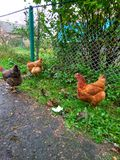 Hen pecks green grass Stock Image