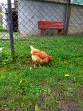 Hen pecks green grass Royalty Free Stock Images