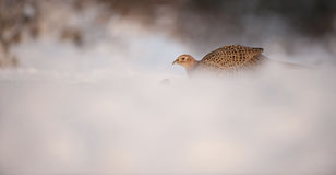 Hen Pheasant Stock Photo
