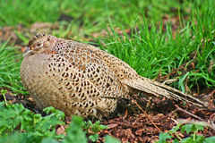 Hen Pheasant Stock Images