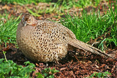 Hen Pheasant Royalty Free Stock Photos