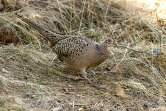 The Hen Pheasant (Phasianus colchicus) Royalty Free Stock Photography