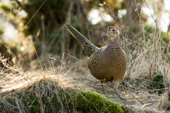 The Hen Pheasant (Phasianus colchicus). The beautiful but discrete female pheasant (Phasianus colchicus) with her camouflage plumage, perfect when she is lying royalty free stock images