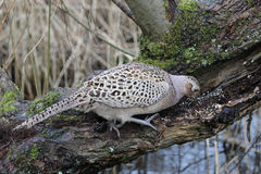Hen pheasant phasianus colchicus feeding on grain Royalty Free Stock Photography